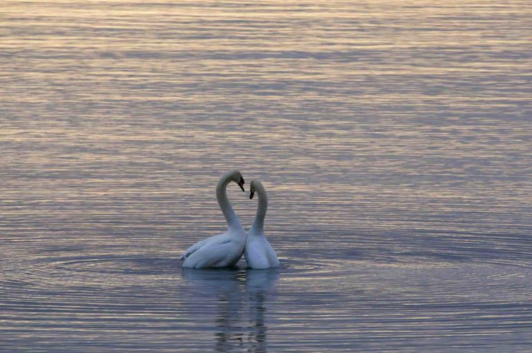 The destination of BUrlington showing swans swimming on lake Ontario